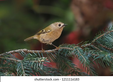 Goldcrest (Regulus regulus). isolated in the forest