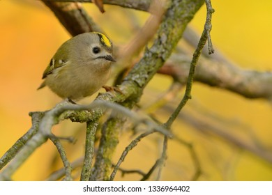 Goldcrest - Regulus regulus sitting on the branch of the spruce. very small passerine bird in the kinglet family. Its colourful golden crest feathers gives rise to its names.