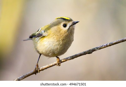 Goldcrest (Regulus regulus) - the smallest bird of Europe, sitting on a branch