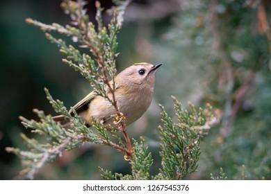 The goldcrest (Regulus regulus) is the smallest European bird. Goldcrest with jumping spider. Photo was taken in Ukraine.