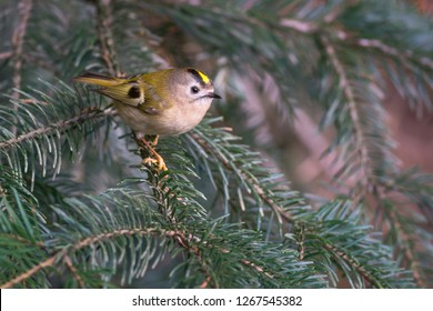 The goldcrest (Regulus regulus) is the smallest European bird. Goldcrest with jumping spider. Photo was taken in Ukraine.