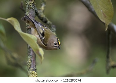 goldcrest (Regulus regulus) a very small passerine bird searching for food on an apple tree, copy space, selected focus