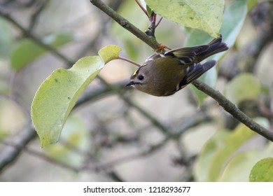 goldcrest (Regulus regulus) a very small passerine bird in search of food on an apple tree, copy space, selected focus