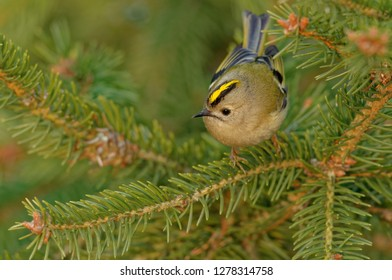 The goldcrest (Regulus regulus) is a very small passerine bird in the kinglet family. Its colourful golden crest feathers gives rise to its English and scientific name