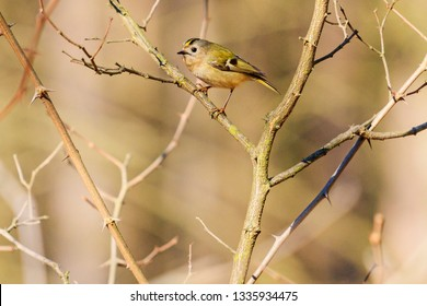 goldcrest sits among the thickets, change for the better