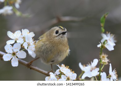 goldcrest sitting on the blooming twig (Regulus regulus) Wildlife scene from nature. European smallest songbird in the nature habitat.
