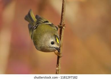 goldcrest sitting on the branch (Regulus regulus) Wildlife scene from nature. European smallest songbird in the nature habitat.