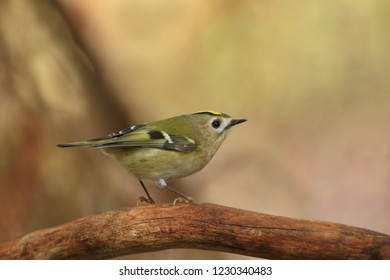 goldcrest sitting on the branch (Regulus regulus) Wildlife scene from nature. European smallest songbird in the nature habitat.