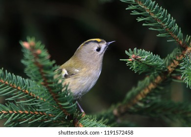 goldcrest sitting on the bruce twig (Regulus regulus) Wildlife scene from nature. European smallest songbird in the nature habitat.