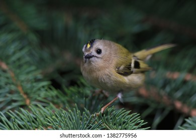 goldcrest sitting on the sbruce twig (Regulus regulus) Wildlife scene from nature. European smallest songbird in the nature habitat.