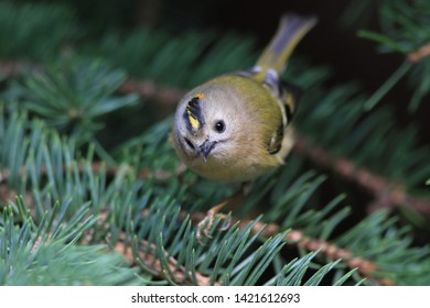 goldcrest sitting on the spruce twig (Regulus regulus)  European smallest songbird in the nature habitat. The goldcrest  is a very small passerine bird in the kinglet family