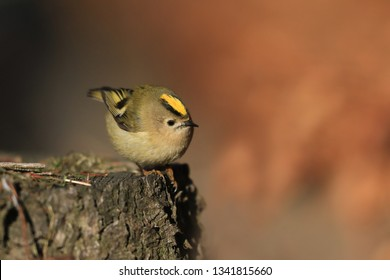 goldcrest sitting on the stump. smallest song bird in the nature habitat. Regulus regulus. Wildlife scene from nature.