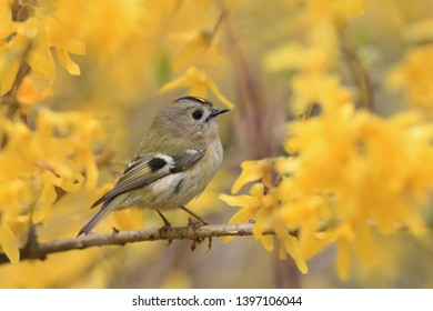 goldcrest sitting on the yellow blooming branch (Regulus regulus) Wildlife scene from nature. European smallest songbird in the nature habitat with yellow background.
