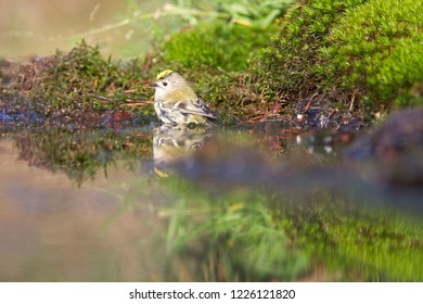 Goldcrest takes a bath in the pond, the Netherlands
