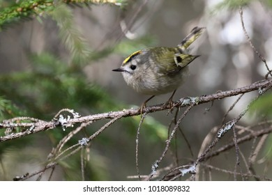 Goldcrest in the tree