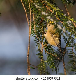 Goldcrest in tree