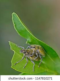 Gold-dust beetle - Gold Dust Weevil   hypomeces squamosus fabricius (Arthropoda: Insecta: Coleoptera: Curculionidae: Entiminae: Tanymecini: Piazomiina: Hypomeces squamosus) in matting activity