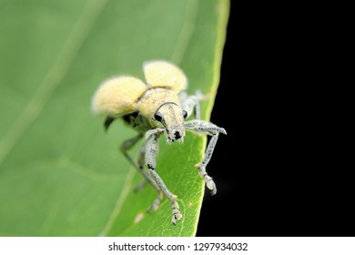 Gold-dust beetle - Gold Dust Weevil hypomeces squamosus fabricius (Arthropoda: Insecta: Coleoptera: Curculionidae: Entiminae: Tanymecini: Piazomiina: Hypomeces squamosus)