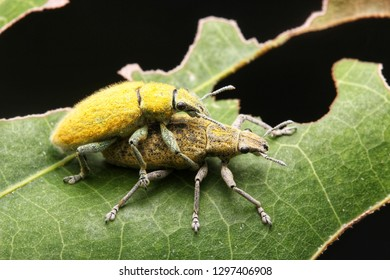 Gold-dust beetle mating - Gold Dust Weevil hypomeces squamosus fabricius (Arthropoda: Insecta: Coleoptera: Curculionidae: Entiminae: Tanymecini: Piazomiina: Hypomeces squamosus)