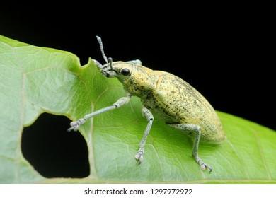 Gold-dust beetle on green leaf - Gold Dust Weevil hypomeces squamosus fabricius (Arthropoda: Insecta: Coleoptera: Curculionidae: Entiminae: Tanymecini: Piazomiina: Hypomeces squamosus)