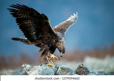 Goldean Eagle (Aquila chrysaetos) at mountain meadow in Eastern Rhodopes, Bulgaria