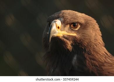 "golden aegle ""Aquila chrysaetos"" portrait"