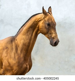 Golden akhal-teke horse stallion on the grey wall background