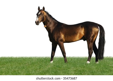 golden akhal-teke horse standing in the grass isolated on white
