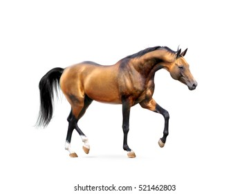 golden akhal-teke stallion isolated on white