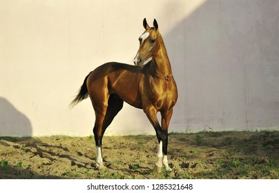 Golden Akhal-Teke stallion stands in the middle of paddock looking to the left. Horizontal photo, three quarters,white background.