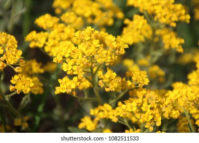 Golden Alyssum in the garden