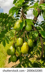 The golden apple (Spondias dulcis Forst. syn. or Spondias cytherea Sonn.) is native to Polynesia, and has been widely distributed to many sub-tropical regions of the world. Alexânia, Goias, Sept 2011