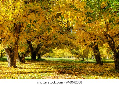 Golden Apple Trees and Fall Colors in Washington State