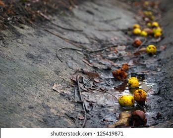 Golden apples fallen in a ditch