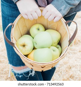 Golden apples ready for picking from the tree in an orchard in the autumn