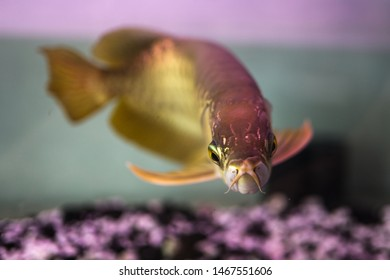 golden arowana fish back, photos focus on the eyes artistically