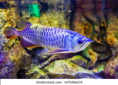 Golden Arowana Fish view in close up in an aquarium