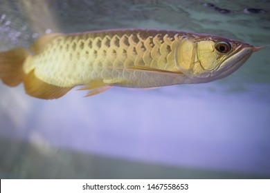 Golden arowana swims sideways, showing its golden scales