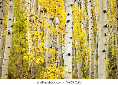 Golden aspen glade in the Colorado Rockies, USA.
