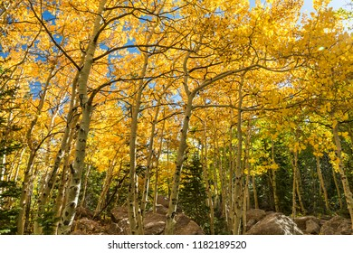 Golden Aspen Trees in early Autumn on the Glacier Gorge Trail in Rocky Mountain National Park, Estes Park, Colorado.
