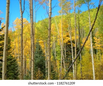Golden Aspen trees in the Fall in Santa Fe, NM against a clear blue sky. Photo shot along Aspen Vista trail Santa Fe, NM October, 2016.