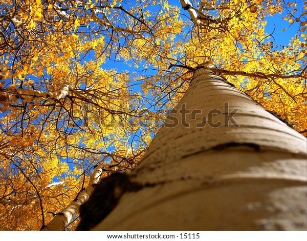 Golden Aspens trees in the Colorado high country reaching for the sky.