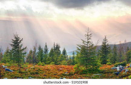 Golden autumn in alpine tops of Gorgany. Coniferous forests and deciduous beech, with haze glow sunlight at sunset with beautiful light effects in the clouds. Autumn red blueberry bushes