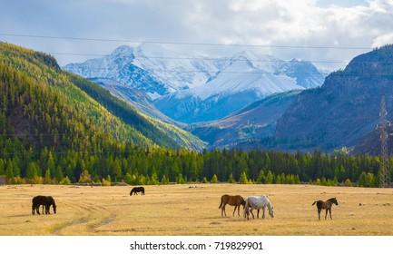 Golden autumn in Altai Russia, mountain Altai, Altai Republic. Beautiful autumn view. mountain scenery, mountain views.  a herd of horses on pasture