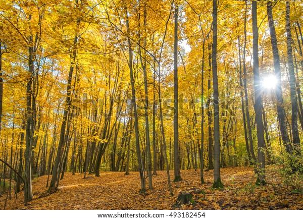 Golden autumn in the aspen grove.