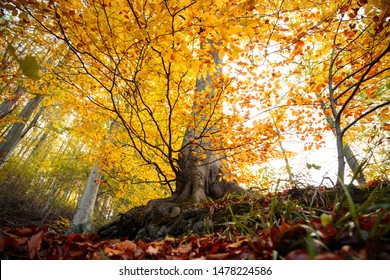Golden autumn in the beech forest, the Harz national Park