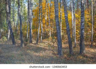 Golden autumn in a birch grove. Nature in the vicinity of Pruzhany, Brest region, Belarus.