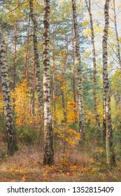 Golden autumn in a birch grove. Nature in the vicinity of Pruzhany, Brest region, Belarus.