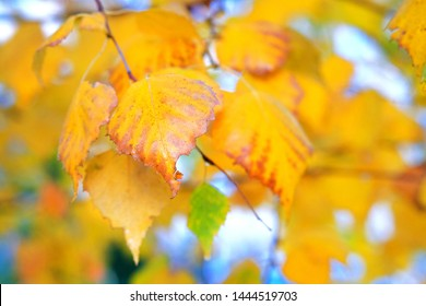 Golden autumn concept. Background image of autumn birch leaves perfect for seasonal use. Sunny day, warm weather. Copy space.