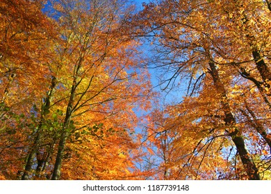 Golden autumn day. Beautiful view in the treetops, Lüneburger Heide, Lüneburg Heath. Northern Germany